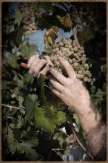 Grapes on the Vine in vintage style