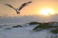 Osprey Flys Over White Sand Beach at Sunrise