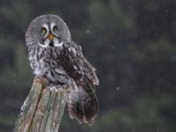 Sitting Great Gray Owl