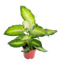 Dieffenbachia. House plant in a pot. isolate