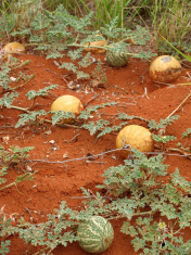 Bush Pumpkin