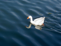 white duck swimming and its reflection