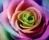 Beautiful colorful rose