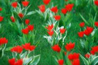 Tiny Tulip Background