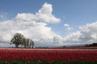 Clouds Over Tulip Fields