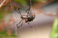 Close-up of Argiope Spider