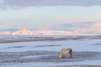 Grazing Pony on Icelandic Highlands