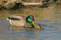 Mallard Ducks Mating