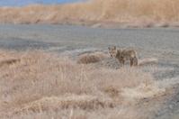 Coyote walking away