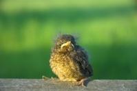 Blackbird Fledgeling