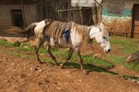 Horse in Ethiopia