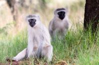 Vervet Monkey together