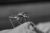 cave cricket 2