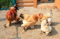 Cochin (chicken).