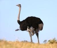 Male Ostrich Bird