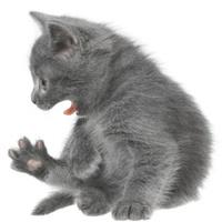 Small gray shorthair kitten yawn