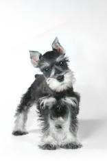Curious Miniature Schnauzer Puppy Dog on White