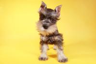 Closeup Miniature Schnauzer Puppy on Yellow