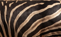 Zebra skin texture background