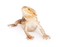 Bearded Dragon Isolated