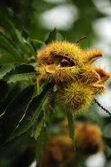 chestnuts , as castanhas