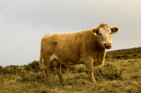 Cow in Bray. Ireland