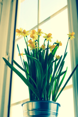 daffodils window
