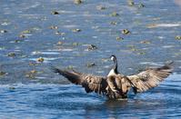 Canada Goose Encountering Nasty Ice Flow