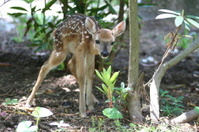 Fawn lost in the woods