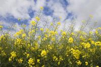 Oilseed Rape isolated against a cloudy sky
