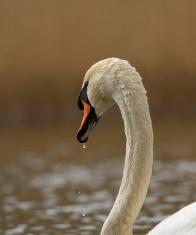 Graceful swan in a lake