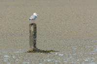 Herring gull on a pole