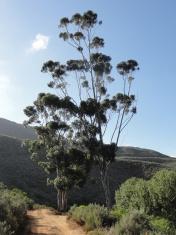 bluegum tree