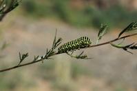 Raupe Schwalbenschwanz Papilio Machaon