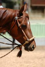 hackamore on chestnut horse