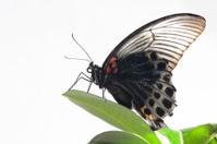 butterfly papilio memon of valiant