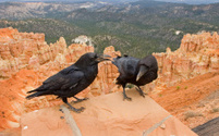 Ravens at Bryce Canyon National Park