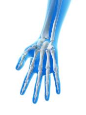 female skeleton - hand