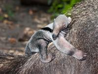 Giant anteater baby