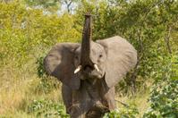 African Elephant (Loxodonta africana)  South Africa