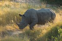 White Rhino (Ceratotherium simum) South Africa