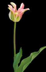 Stripped tulip