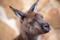 Head of kangaroo