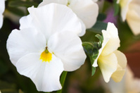 White viola cornuta (horned violet) flower