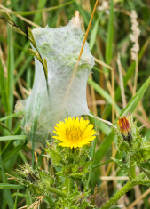 Grass Spiders Nest