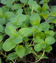 Balm mint plant
