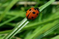 Ladybird climbing grass