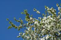 Apple Blossoms - Close