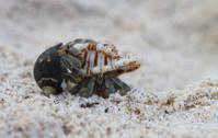 Hermit Crab Mating