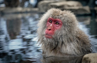 Japanese monkeys in hot spring